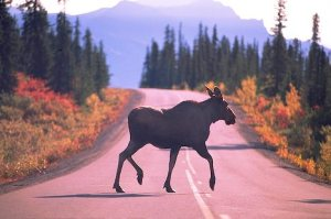 Moose Cow in the Road